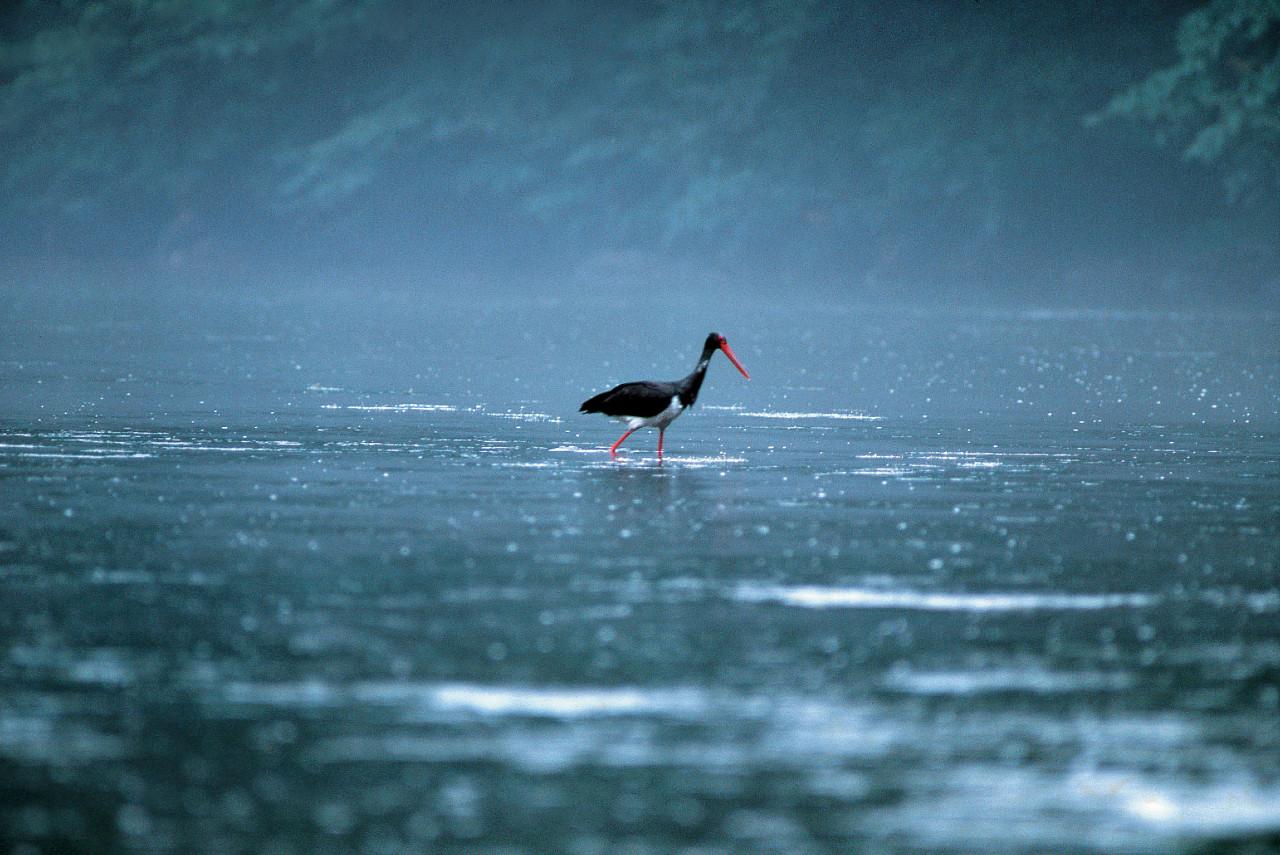 A stork