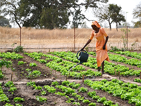 Caritas-Sommerkampagne: Einen Frau im Senegal wässert einen Gemeinschaftsgarten