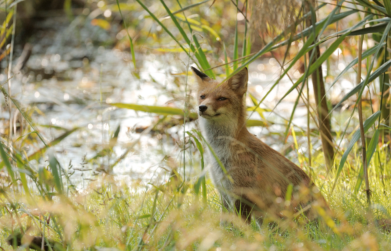 A fox