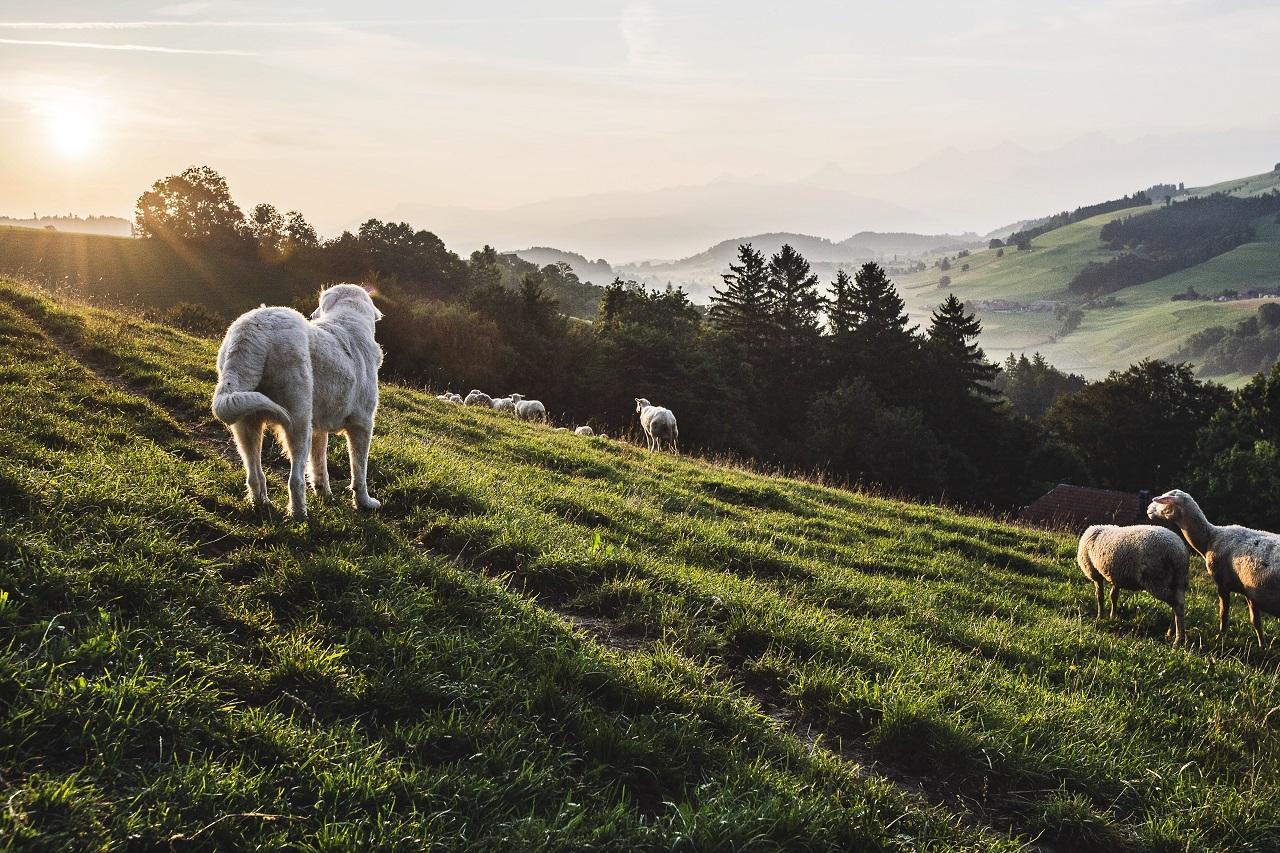 Hütehund und Schafe auf einer grünen Weide
