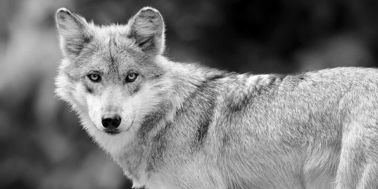 Mexikanischer Wolf in schwarz-weiß