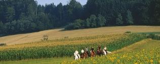 Eine Reitergruppe trabt durch die Sonnenblumenfelder im Innviertel, Oberösterreich.