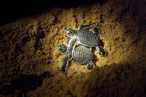 Lederschildkröte