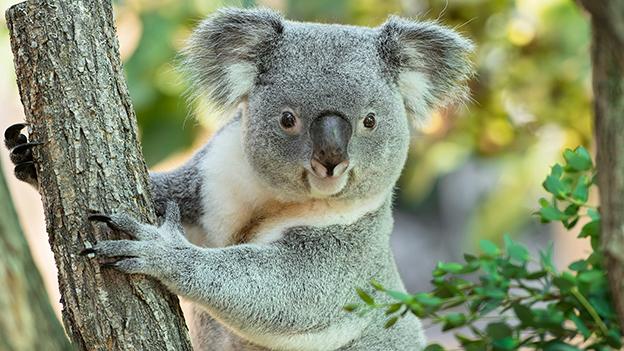 """Koala Bär """"Bunji"""""""
