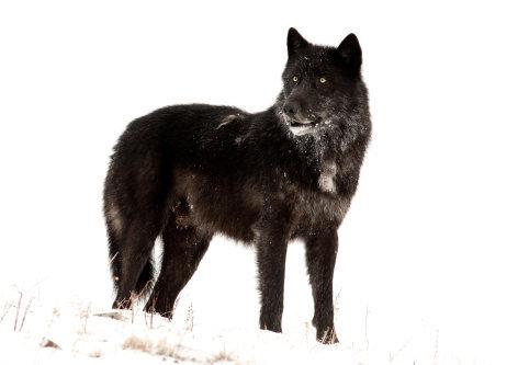 Die Rückkehr der Wölfe das Wunder im Yellowstone Nationalpark