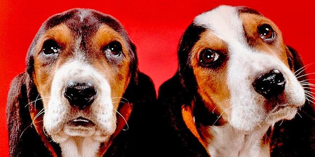 Bassett hounds, New Jersey, 1964