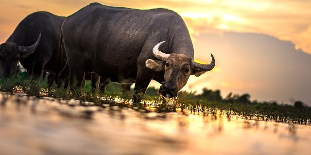 Büffel im Sonnenuntergang