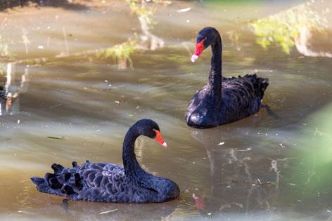 Schwarzschwäne in der Tierwelt Herberstein