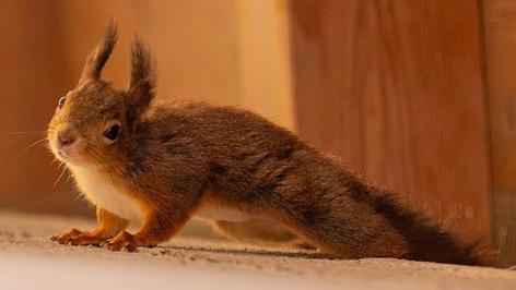Eichhörnchen Lucy zieht beim Stadtamt Marchtrenk ein.