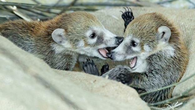 Nasenbären-Zwillinge tollen im Tiergarten Schönbrunn