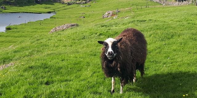 Just a friendly ram I met downtown Tórshavn!