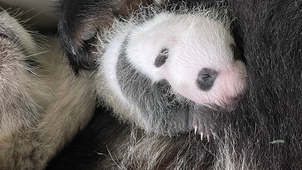 Riesenpanda-Baby