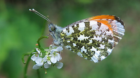 Aurora Schmetterling
